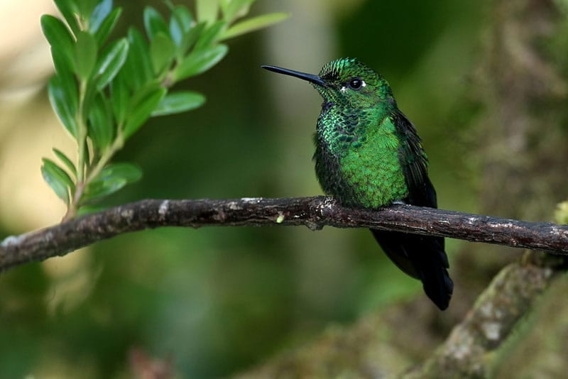 Costa Rica - Humming Bird