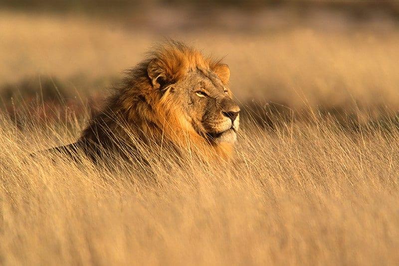 Etosha -Lions