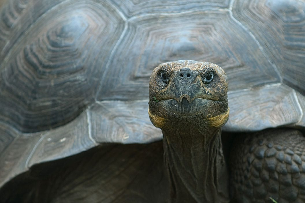 Giant Tortoise on the Galapagos Islands