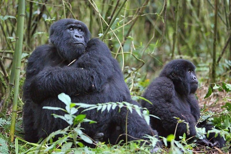 Rwanda---pair-of-gorillas