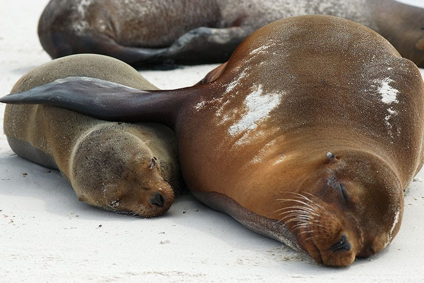 Snuggling Sea Lions on the Galapagos Islands