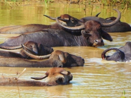 Water Buffaloes, Yala