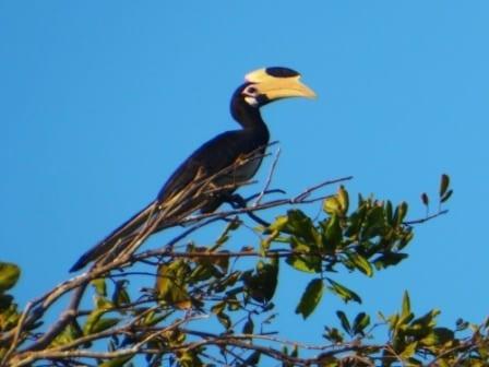 Hornbill, Yala